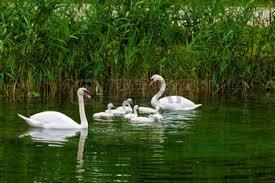 birds-swans