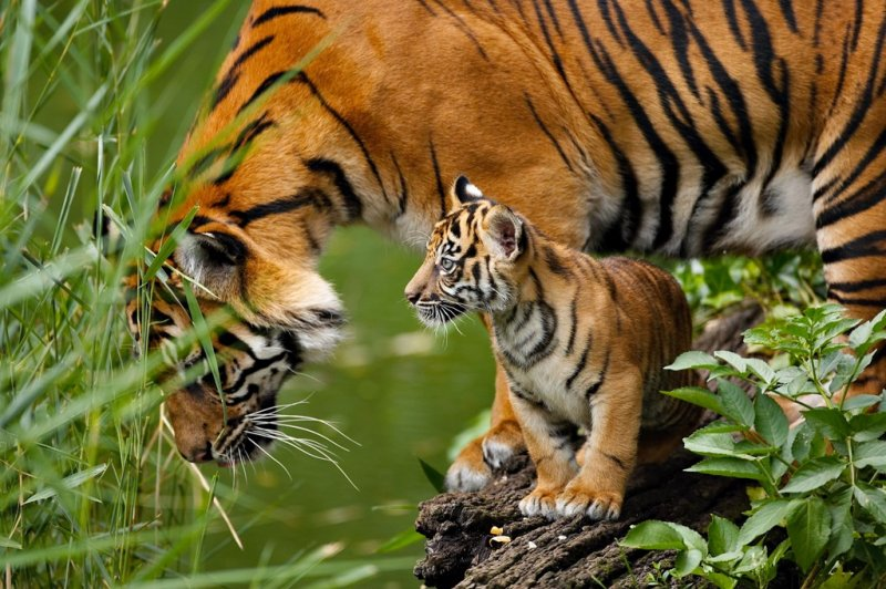zoos-tiger-and-cub